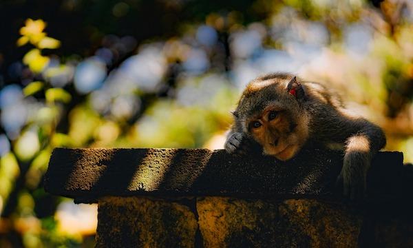 Scimmia Riflessiva